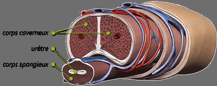 corps caverneux priapisme - Érection permanente après une chute de vélo pour un jeune homme de 22 ans